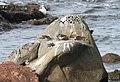 TURNSTONE, RUDDY (11-5-09) northpoint, morro bay, slo co, ca -01 (4079023028).jpg