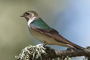 Violet-green swallow - Female in California, United States
