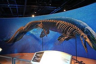 Taniwhasaurus - Reconstructed skeleton of T. antarcticus, Field Museum