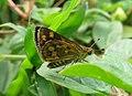 Taractrocera ceramas – Tawny-spotted Grass Dart - Tamil Grass Dart. 03.jpg