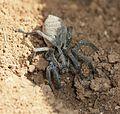 Tarantula - Flickr - S. Rae.jpg