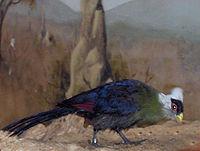 Tauraco leucolophus02.jpg