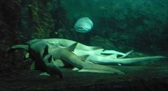Tawny nurse sharks (Nebrius ferrugineus), Underwater World, Sentosa, Singapore - 20070706.jpg