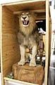 Taxidermy Lion Trophy Seized by U.S. Fish and Wildlife Service Miami (37402001470).jpg