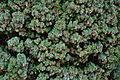 Taxus baccata L.'fastigiata' JdP.jpg