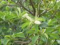 Terminalia phanerophlebia, loof en bloeiwyses, Manie van der Schijff BT, a.jpg