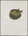 Tetrodon stellatus - 1700-1880 - Print - Iconographia Zoologica - Special Collections University of Amsterdam - UBA01 IZ15500091.tif