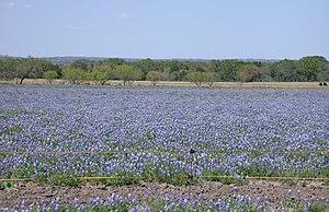 Lupinus texensis - Image: Texas Bluebonnet (Lupinus texensis) field