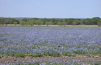 Lupinus texensis - Image: Texas Bluebonnet (Lupinus texensis) field