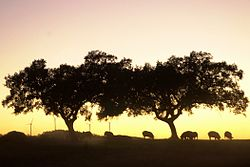 Twilight landscape with Iberian pigs under oak trees in Tharsis.
