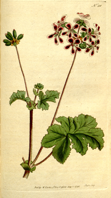 The Botanical Magazine, Plate 201 (Volume 6, 1793).png