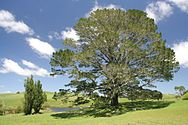 The Original Party Tree!, Hobbiton, New Zealand.jpg