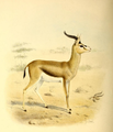 The book of antelopes (1894) Gazella spekei.png