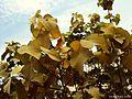 The fig tree leaves.jpg