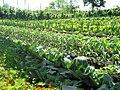 The kitchen garden at Eden - geograph.org.uk - 821769.jpg