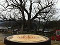 The largest tree of zelkova in Japan , Osaka-pref. - panoramio.jpg