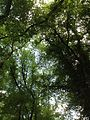 Thick canopy of American elms, at Penn State - panoramio.jpg