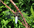Thomas Bresson - Libellula depressa-3 (by).jpg