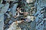 Three's a crowd - RSPB Bempton Cliffs (28045288800).jpg