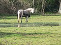 Throop, horse without a sense of smell - geograph.org.uk - 734999.jpg