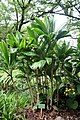 Ti plant (Cordyline fruticosa).jpg