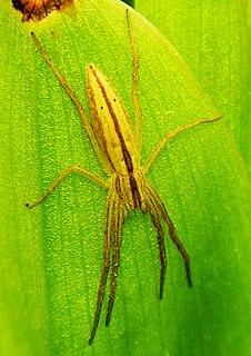 <i>Tibellus oblongus</i> species of arachnid