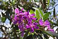 Tibouchina Granulosa (Purple Glory Tree) (28789104642).jpg