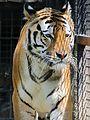 Tiger (AP4N1186 1) (20425712143).jpg