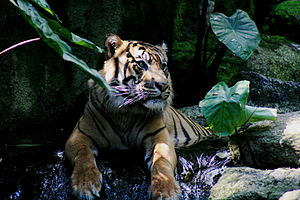 Fauna of Indonesia - The Sumatran tiger, the smallest tiger subspecies, is only found in Indonesia.