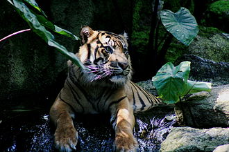 Sumatran tiger - In the Melbourne Zoo, Australia