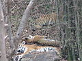 Tigers at Bannerghatta National Park 4-24-2011 12-19-19 PM.JPG