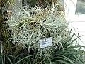 Tillandsia paleacea - Botanischer Garten München-Nymphenburg - DSC07940.JPG