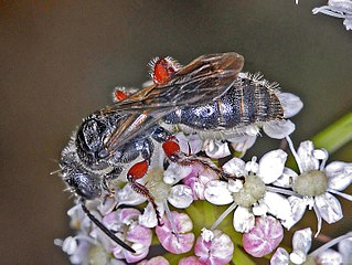 Tiphiinae