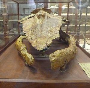 Titanocetus - Front view of skull