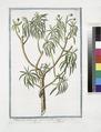 Tithymalus Americanus arborescens foliis Linriæ - Titimaglio - Titimale (NYPL b14444147-1124953).tiff
