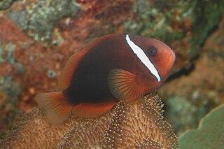 Tomato clownfish species of fish