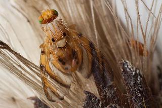 <i>Tomoplagia</i> Genus of flies