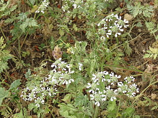 <i>Tordylium</i> Genus of flowering plants