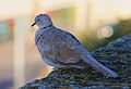 Tourterelle turque Collared Dove.JPG