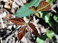 Toxicodendron radicans 01673.jpg