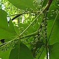 Toxicodendron radicans SCA-3137.jpg