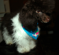 Toy Parti Poodle, in puppy clip.png