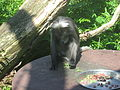 Trachypithecus obscurus in Burgers' Zoo (Rimba) (3).JPG