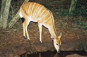 Description de l'image  Image:Tragelaphus angasii Nyala female 1.jpg .