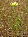 Tragopogon dubius (4049556535).jpg