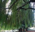Tree in park in California in town of Cupertino.JPG