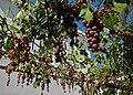 Treille de la Villa Iptamena, Peyia.jpg
