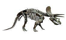 Scheletro di triceratopo, un ceratopside.