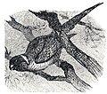Trichoglossus sp Brockhaus Efron.jpg
