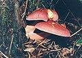 Tricholomopsis rutilans.jpg